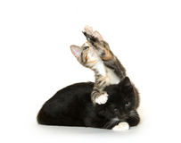 Two cats on whtie Royalty Free Stock Image