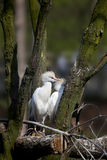Two Cattle Egrets Stock Images
