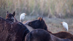 Two Cattle Egrets on Horse Stock Images