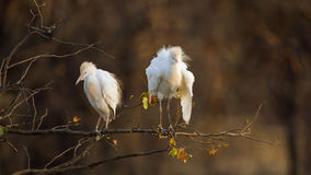 Two cattle egrets in Kruger National park Royalty Free Stock Image