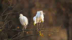 Two cattle egrets in Kruger National park, standing on a branch Royalty Free Stock Photos