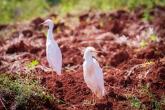 Two Cattle Egrets on newly ploughed land royalty free stock images
