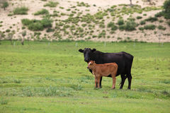 Two cattles stock photography