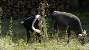 Two Cattles in alpine area grass. Two cattles grassing in alpine area stock footage