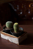 Two Catus on wood table Royalty Free Stock Images