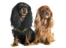 Two cavalier king charles Stock Photo