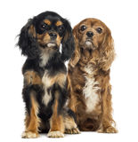 Two Cavalier King Charles sitting, isolated Stock Photography