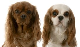 Two cavalier king charles spaniel Stock Photo