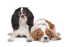 Two Cavalier King Charles Spaniel dogs Royalty Free Stock Photo