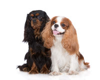 Two cavalier king charles spaniel dogs Royalty Free Stock Images