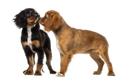 Two Cavalier King Charles Spaniel meeting Royalty Free Stock Images