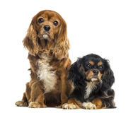 Two Cavalier King Charles Spaniel sitting and lying Stock Photos