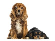 Two Cavalier King Charles Spaniel sitting and lying. Isolated on white stock image
