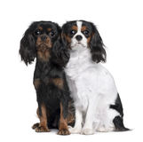 Two Cavalier King Charles Spaniels. 8 Months and 9 Month old, sitting in front of white background Royalty Free Stock Photo