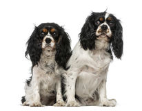 Two Cavalier King Charles Spaniels Stock Photography