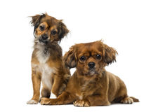Two Cavalier King Charles Spaniels Stock Image