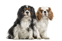 Two Cavalier King Charles Spaniels, sitting together Royalty Free Stock Photos