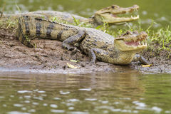 Two Caymans (Caiman crocodilus fuscus) royalty free stock photography