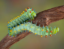 Two cecropia caterpillars Royalty Free Stock Photography