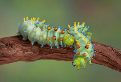 Two cecropia caterpillars on vine Royalty Free Stock Photo