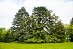 Two cedar Royalty Free Stock Images