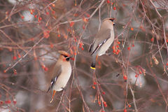 Two cedar waxwings eating an crab apples. Beautiful winter forest Royalty Free Stock Images
