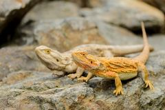Two central bearded dragon on the stone. Australian lizard Stock Photo