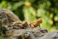 Two central bearded dragon on the stone in nature with bookeh background. Australian lizard Stock Images