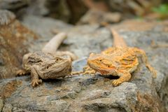 Two central bearded dragon on the stone in nature with bookeh background. Australian lizard Royalty Free Stock Image