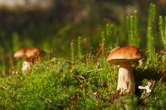 Two ceps Royalty Free Stock Images