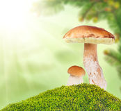 Two ceps in moss on light background Royalty Free Stock Images