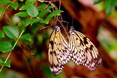 Two Ceylon Tree-Nymph butterflies mating Royalty Free Stock Image