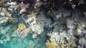 Two Chaetodon fasciatus swim among the coral reefs stock video footage