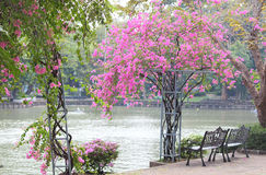 Two chairs and beautiful bougainvillea flower in the park Stock Images