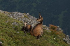 Two chamois adult and young. Tatry. Poland Royalty Free Stock Photography