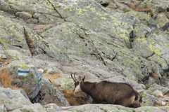Two chamois (Rupicapra rupicapra tatrica), Tatra mountains, Pola Stock Photos