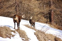 Two chamois standing on a slope in Italy. Couple of chamois Rupicapra rupicapra in Valnontey, Aosta Valley, Italy Royalty Free Stock Images