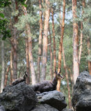Two chamoises laying on the stones in the forest Stock Images