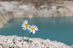 Two chamomile on a hillside Stock Photo