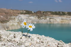 Two chamomile on a hillside Royalty Free Stock Photo