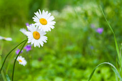 Two chamomile, summer flowers background. Photo with soft selective focus Royalty Free Stock Photo