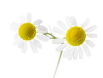 Two Chamomiles isolated on white background. Stock Photos