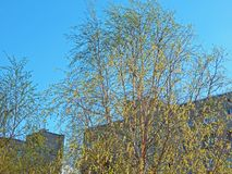 A view of birch trees with big catkins on an early summer day with tall buildings in the background stock image