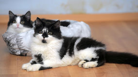 Two charming black and white young cats Stock Photography