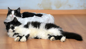 Two charming black and white young cats Stock Photos