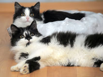 Two charming black and white young cats Stock Image