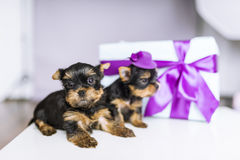 Two charming Yorkshire terrier and gift box with bow. royalty free stock photography