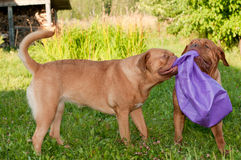 Two cheerful dogs playing with broken ball Royalty Free Stock Photo