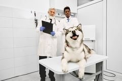 Happy malamute lying on table in vet clinic, vets posing. royalty free stock image