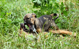 Two cheerful and sweet puppy playing in the field. Two small dogs fight among themselves.dog Royalty Free Stock Image